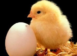 Бройлеры, цыплята