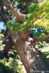 Продам круглый лес КЕДР