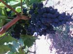Технический (винный) виноград