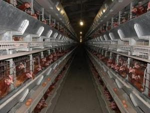 Клеточное оборудования для выращивания промышленного стада кур-несушек ОКН.