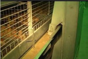 Клеточное оборудование для выращивания ремонтного молодняка кур-несушек – ОАРМ