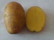 Семенной картофель из Беларуси в Краснодарском крае