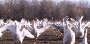 Деревенские гуси живок