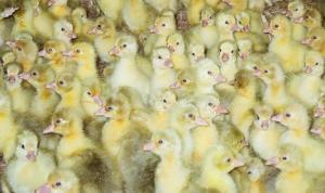 Продаются гусята порода Легарт Датский