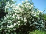 Чубушник весенний (жасмин)