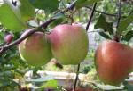 Яблоки Зимняя красавица