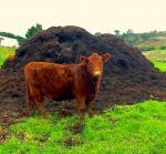 Подкормка растений, коровяк 4 года, перегной