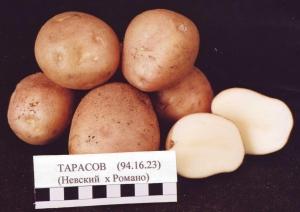 Картофель продовольственный сорт Тарасов