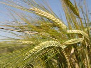 Пшеница продовольственная и фуражная оптом