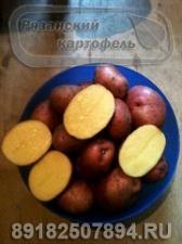 Картофель Ред Скарлетт оптом от фермера